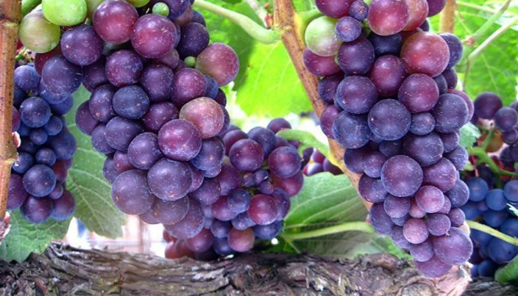 Pinot Noir Grapes 30afoodandwine