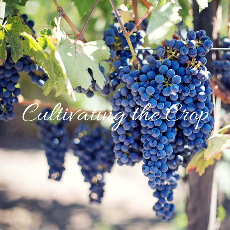 Wine Wednesday – Cultivating the Crop